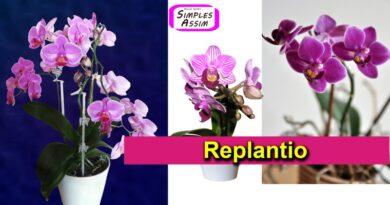 Replantio de Orquídea